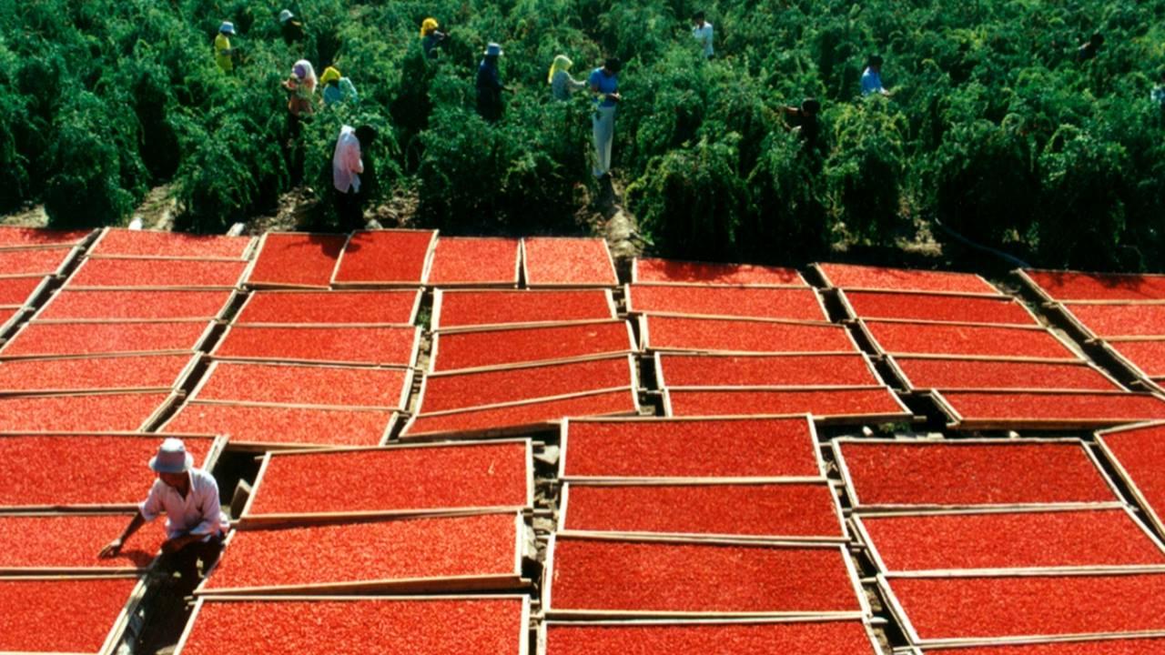 Goji Berry Üretimi