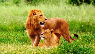 Ormanın Kralı Aslanlar Nerede Yaşar?