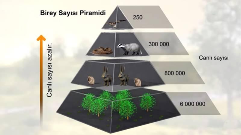 Birey Sayısı Piramidi
