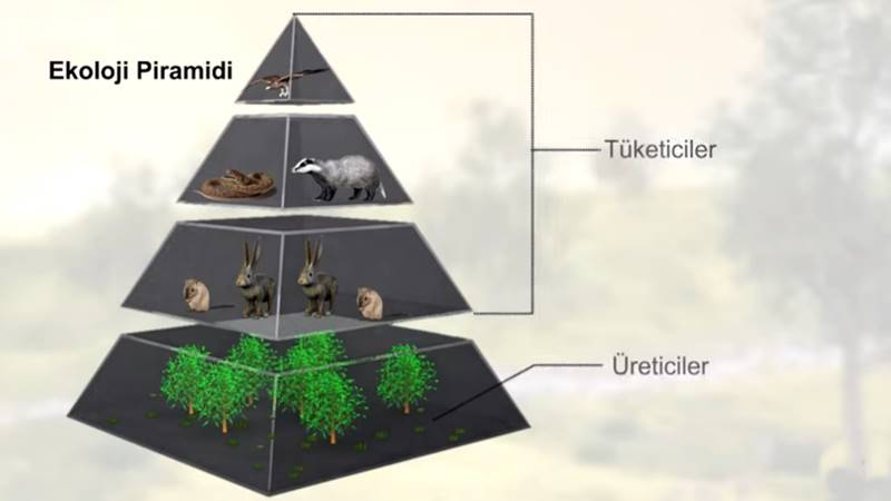 Ekoloji Piramidi