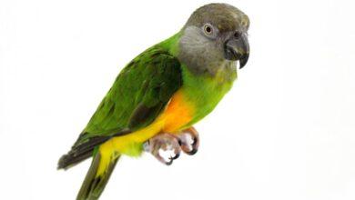 Photo of Senegal Papağanı Özellikleri Nelerdir?