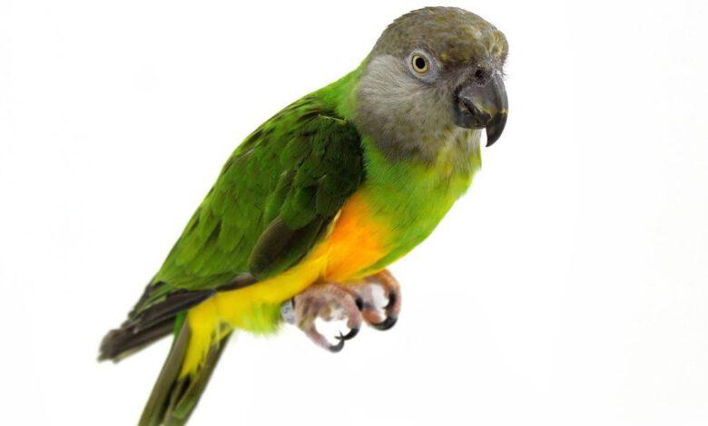 Senegal Papağanı Özellikleri